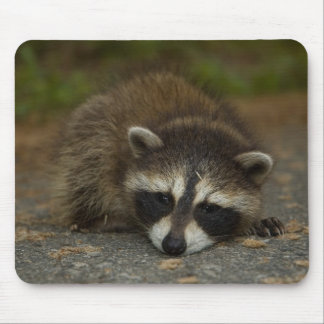 Raccoon - Procyon lotor Mouse Pad