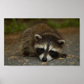 Raccoon - Procyon lotor Poster