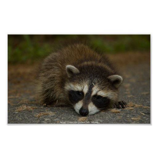 Raccoon - Procyon lotor Print