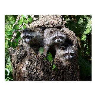 Raccoon - The Three Amigos Postcard