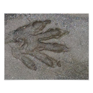 Raccoon track, in river silt, Colorado Poster