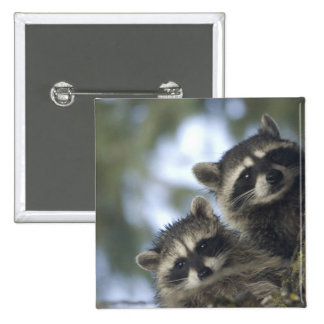 Raccoons Procyon Lotor) of Fish Lake, Central 15 Cm Square Badge