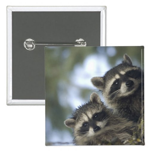 Raccoons Procyon Lotor) of Fish Lake, Central Button