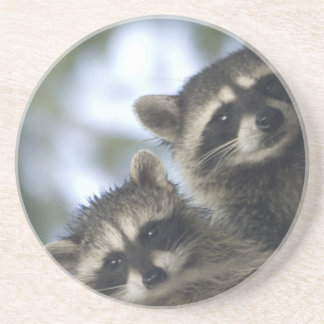 Raccoons Procyon Lotor) of Fish Lake, Central Beverage Coaster
