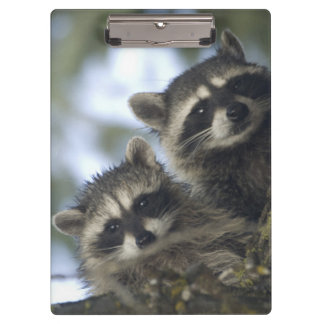 Raccoons Procyon Lotor) of Fish Lake, Central Clipboards