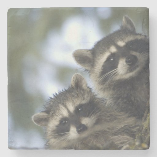 Raccoons Procyon Lotor) of Fish Lake, Central Stone Beverage Coaster