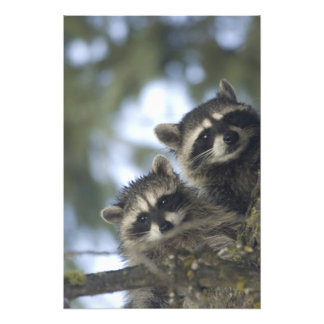 Raccoons Procyon Lotor) of Fish Lake, Central Art Photo