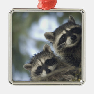 Raccoons Procyon Lotor) of Fish Lake, Central Silver-Colored Square Decoration