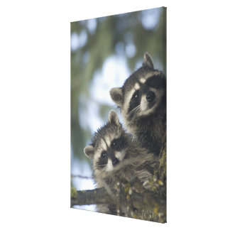 Raccoons Procyon Lotor) of Fish Lake, Central Stretched Canvas Prints