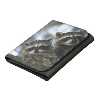 Raccoons Procyon Lotor) of Fish Lake, Central Wallets