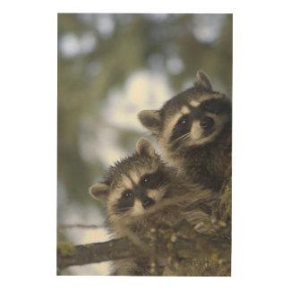 Raccoons Procyon Lotor) of Fish Lake, Central Wood Print