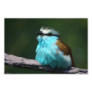 Racket-tailed Roller Photo Print