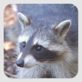 RACOON RACCOON photo: Jean Louis Glineur Square Sticker