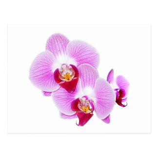 Radiant Orchid Closeup Photograph Postcard