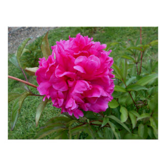 Radiant Pink Peony Poster