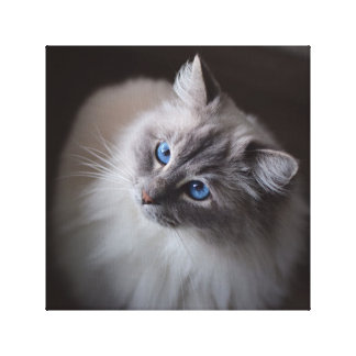 Ragdoll Cat Canvas - Millie's Blue Eyes