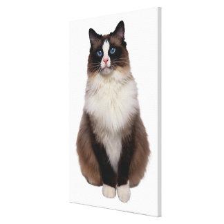 Ragdoll Cat Canvas Print