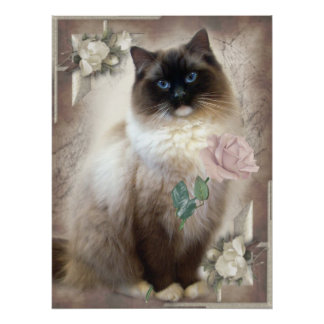 Ragdoll holding single rose poster