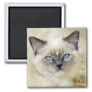 Ragdoll kitten square magnet