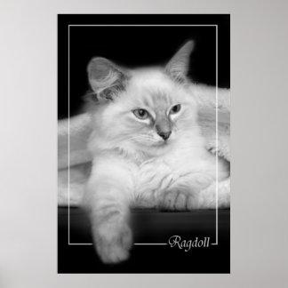 ragdoll kitten poster