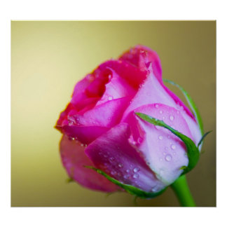 Rain Drop Kisses of Nature on Pink Rose Posters