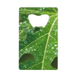 Rain Drops on Tropical Green Papaya Leaf
