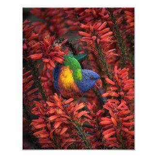 "Rainbow Lorikeet in Vibrant Red Aloe 11x14"" print"
