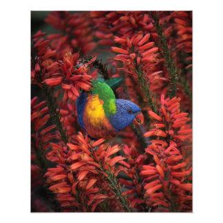 "Rainbow Lorikeet in Vibrant Red Aloe 16x20"" print"