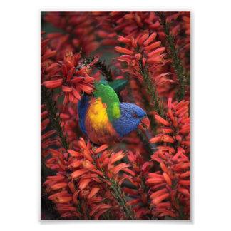 "Rainbow Lorikeet in Vibrant Red Aloe 5x7"" print Photo"