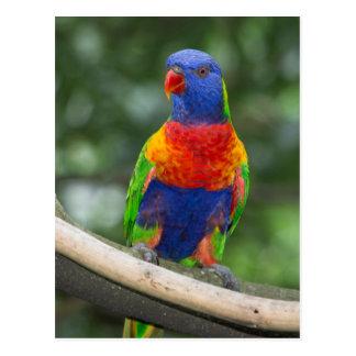 Rainbow Lorikeet Portrait Postcard