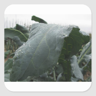 Raindrops on cauliflower leaves square sticker