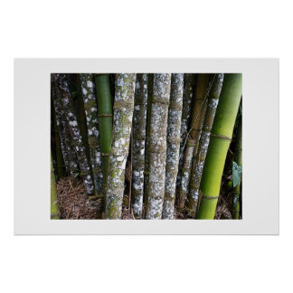 Rainforest Bamboo In Costa Rica Poster