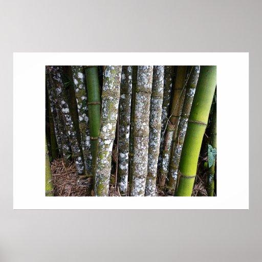 Rainforest Bamboo In Costa Rica Poster