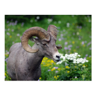 Ram - Smelling the Flowers Postcard