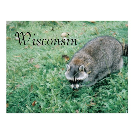 Ramblin' Racoon Postcard