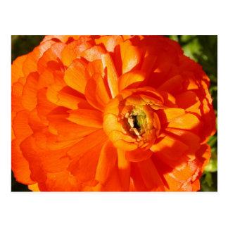 Ranunculus MS Awareness Postcard