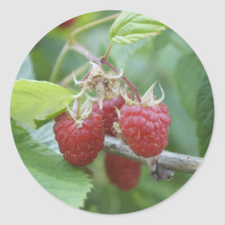 Raspberries Round Sticker