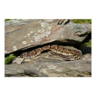 Rattlesnake at Shenandoah National Park Poster