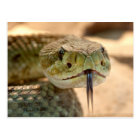 Rattlesnake Closeup Photo Postcard