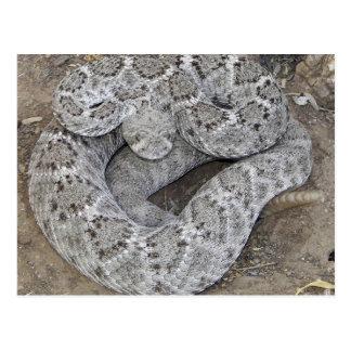 Rattlesnake Postcard