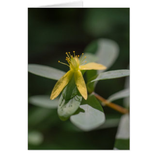 Reclining St. Andrews Cross Wildflower Floral Card