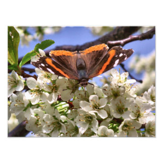 Red Admiral Butterfly Photo
