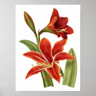 Red Amaryllis Botanical Print
