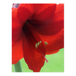 Red Amaryllis Postcard