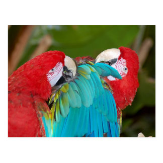 Red and blue macaw parrot print postcard