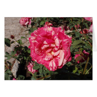 Red and Cream Rose Greeting Card