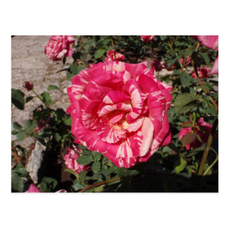 Red and Cream Rose Postcard