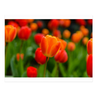 Red and Orange Tulips in the Garden Postcard