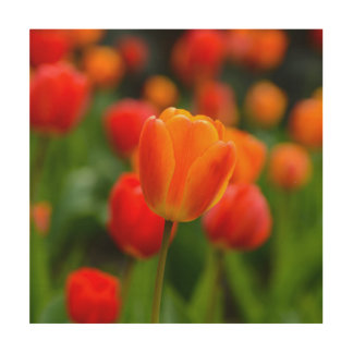 Red and Orange Tulips in the Garden Wood Print