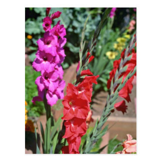 Red And Pink Gladiolus Stalks flowers Postcard